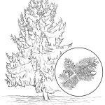 Alaska State Tree Coloring Page | Free Printable Coloring Pages   Free Printable Pictures Of Alaska
