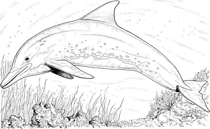 Dolphin Coloring Sheets Free Printable