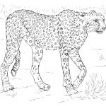 Cheetah Coloring Pages | Free Coloring Pages   Free Printable Cheetah Pictures