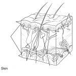 Human Skin Anatomy Worksheet Coloring Page | Free Printable Coloring   Free Printable Anatomy Pictures