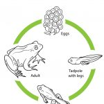 Life Cycle Of A Frog Coloring Page | Free Printable Coloring Pages   Life Cycle Of A Frog Free Printable Book