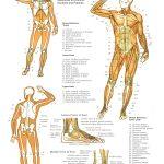 Printable Free Anatomy Study Guides   Free Printable Anatomy Pictures