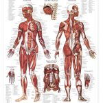 The Female Muscular System Anatomical Chart Free Printable   Free Printable Anatomy Pictures