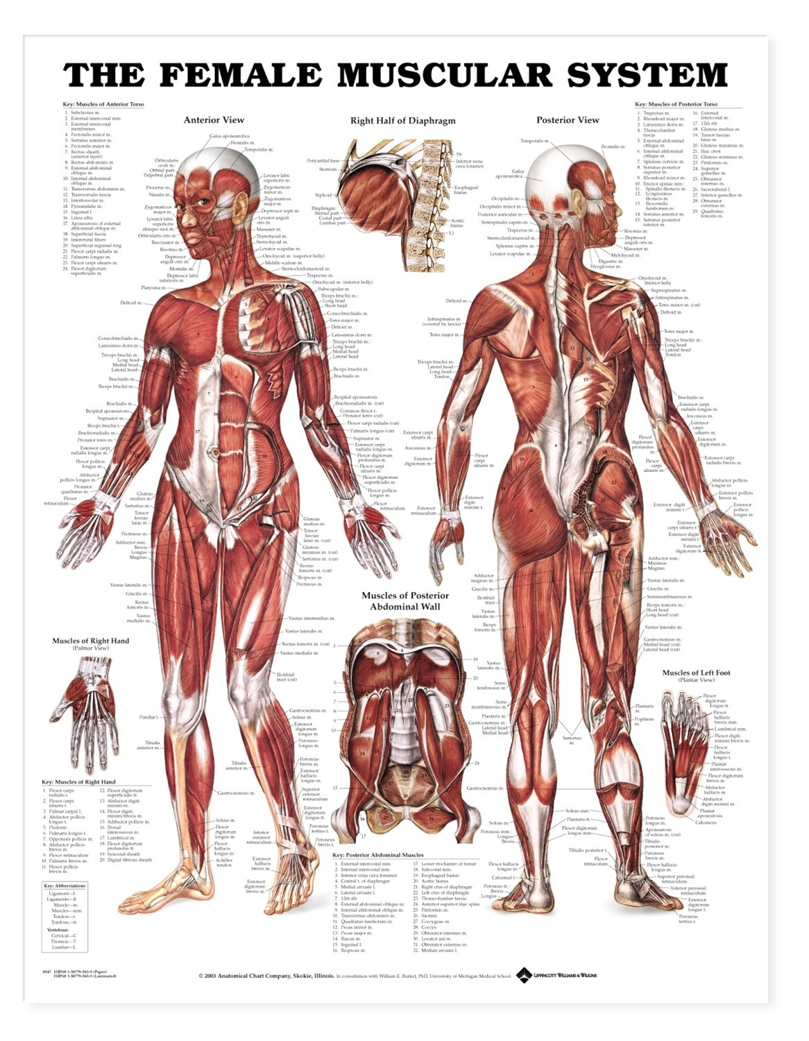 The Female Muscular System Anatomical Chart-Free-Printable - Free Printable Anatomy Pictures