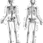 Vintage Anatomy Skeleton Images   The Graphics Fairy   Free Printable Anatomy Pictures