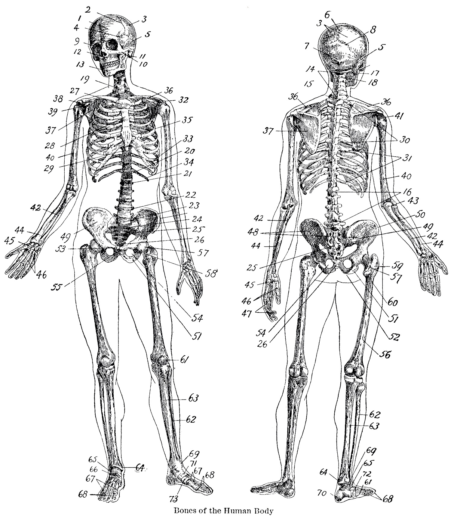 Vintage Anatomy Skeleton Images - The Graphics Fairy - Free Printable Anatomy Pictures