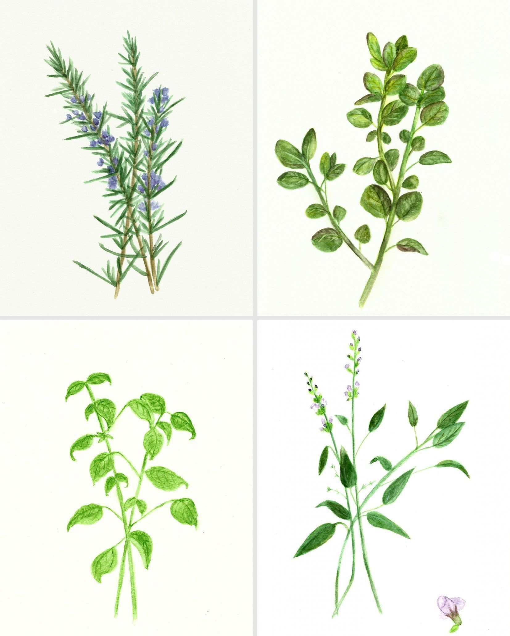 Free Herb Watercolor Printables: Rosemary And Oregano! | Botanica - Free Printable Pictures Of Herbs