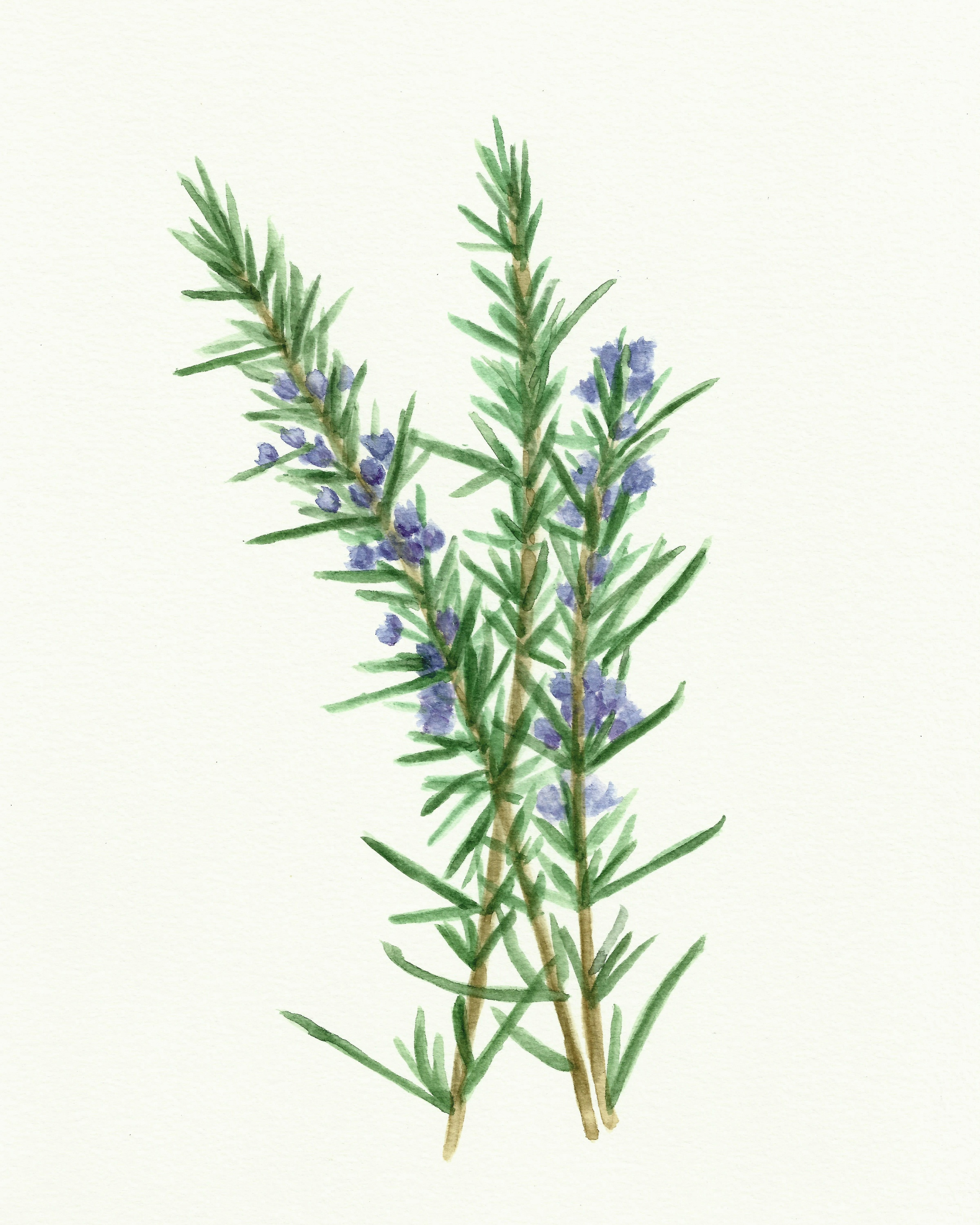 Free Herb Watercolor Printables: Rosemary And Oregano! - The - Free Printable Pictures Of Herbs