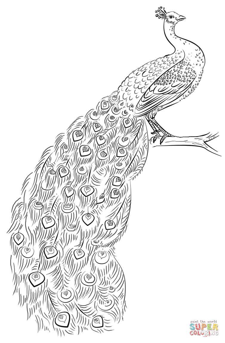 Peacock Coloring Page   Free Printable Coloring Pages   Coloring - Free Printable Peacock Pictures