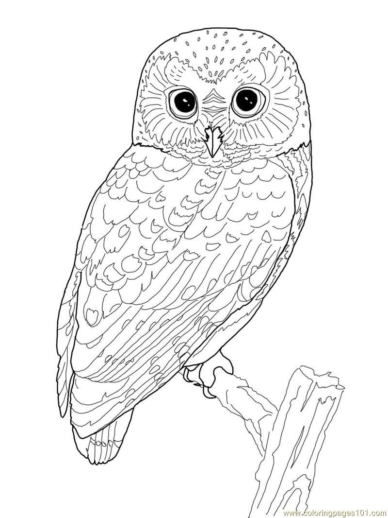 Printable Owl Coloring Page | Coloring Pages Owl (Birds > Owl - Free Printable Owl Coloring Sheets
